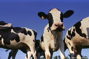 cows - Copy